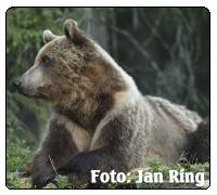 Bear safari. Bj�rnsafari i H�rjedalen